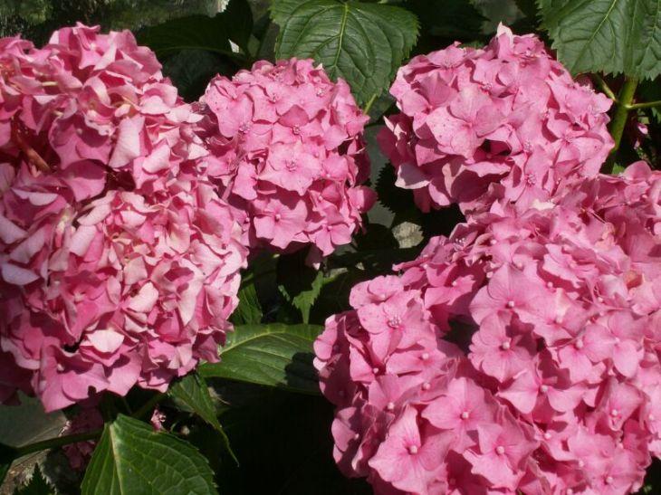 Hortensje - dlaczego nie kwitną?